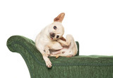 cute chihuahua on a green couch isolated on a white background