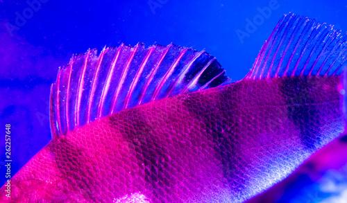 Leinwandbild Motiv Perch fish fins in blue and pink color