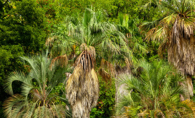 Palm trees in the park. Subtropical climate