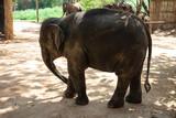 Big Thai Elephant in Elephant Conservation Center