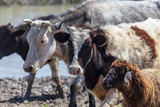 Cows at a watering place on a pond in spring