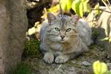 Die Europäische Wildkatze