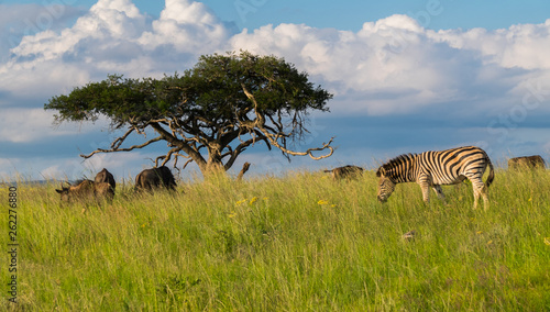 Zebras and buffaloes grassing on the Savannah in South Africa, Africa