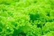 Leinwandbild Motiv Closeup Fresh organic green leaves lettuce salad plant in hydroponics vegetables farm system