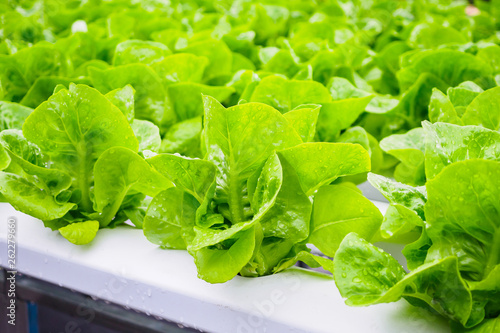 Leinwandbild Motiv Fresh organic green leaves lettuce salad plant in hydroponics vegetables farm system