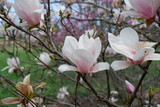 close-up of a magnolia blossom in bloom