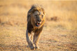 Quadro Lone lion male walking through dry brown grass hunt for food