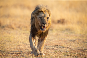 Lone lion male walking through dry brown grass hunt for food