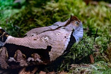 Bithis Rhinoceros african horn snake