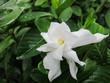A Gardenia or Cape Jasmine Flower