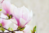 Pink magnolia flowers blooming on magnolia tree branches.(Magnolia soulangeana)