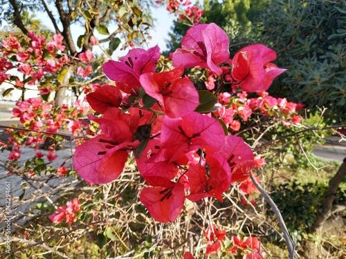 Buganvilla de color rosado, flor tropical con hojas verdes. En Ayamontes, España, Andalucia. © nykaly