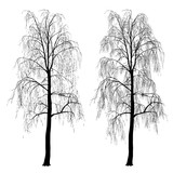 Two silhouettes of a birch, without foliage, winter
