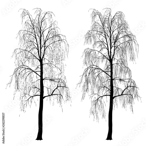Two silhouettes of a birch, without foliage, winter - 262298837
