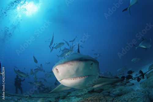bull shark, carcharhinus leucas, zambezi shark