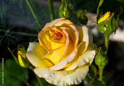 canvas print picture Droplets of water on a flowering bright yellow rose.