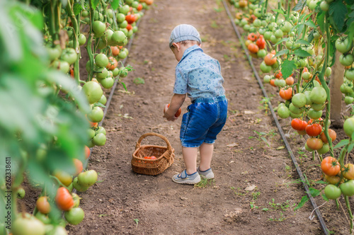 The child collects the harvest of homemade tomatoes in the basket. Selective focus. Harvest tomatoes grown in a greenhouse. © Victor