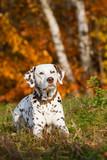 Dalmatiner im Herbst
