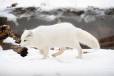 Arctic Fox Prowling