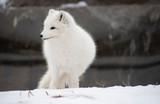 Arctic Fox Profile
