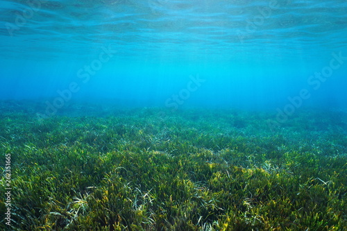 Seagrass Posidonia oceanica on the seabed underwater in the Mediterranean sea, Alpes Maritimes, France
