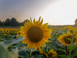 sunset in the afternoon-SUNFLOWERS