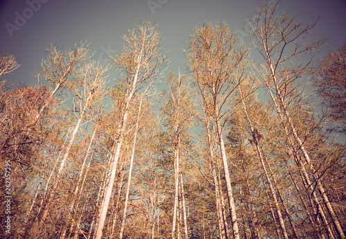Birch trees in springtime