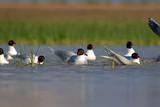 Bird bath. Colorful nature background. Birds: Mediterranean Gull. Ichthyaetus melanocephalus.