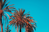 Palm trees against blue sky. Orange and teal effect - 262376856