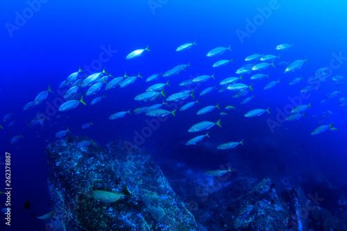 Leinwandbild Motiv Tuna fish underwater