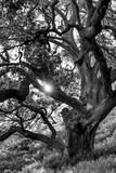 Sun shines through lush Oak tree in black and white