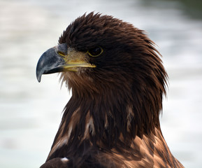 The white-tailed eagle or ern, erne, gray eagle, Eurasian sea eagle and white-tailed sea-eagle[citation needed], is a large bird of prey  family Accipitridae which includes hawks, kites, and harriers