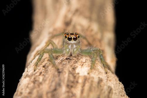 Jumping spider predator nature habitat - 262396699