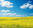 Yellow field panorama on a sunny day