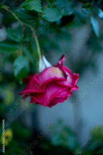 canvas print picture Lovely & Sad Rose I