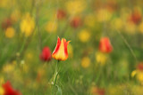 Yellow-red wild tulip Shrenk, spring flowers bloom, one flower with an unusual color