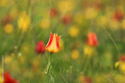 Yellow-red wild tulip Shrenk, spring flowers bloom, one flower with an unusual color - 262456471