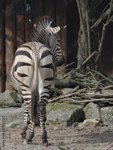 Zebra - 262457292