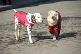 Dalmatian and retriever in walking clothes