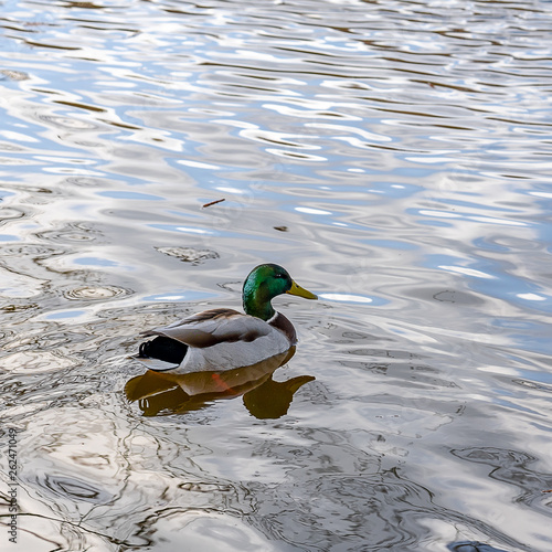 canvas print picture Erpel auf dem See