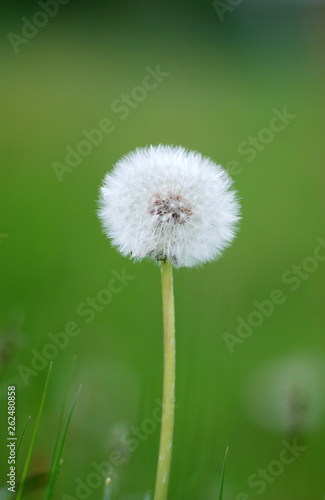 Dandelion flowers isolated on green - 262480858