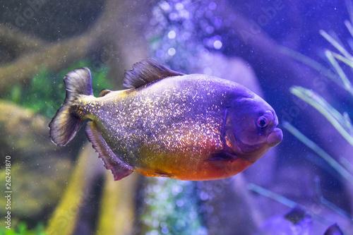 Leinwandbild Motiv red-bellied piranha fish in aquarium with illumination