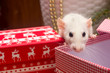 canvas print picture - White domestic rat on christmas background. Symbol of the Chinese New Year 2020 greeting card concept