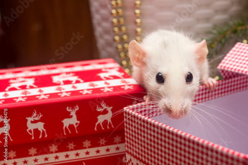 canvas print picture White domestic rat on christmas background. Symbol of the Chinese New Year 2020 greeting card concept