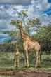 canvas print picture - Giraffes in Etosha national park, Namibia