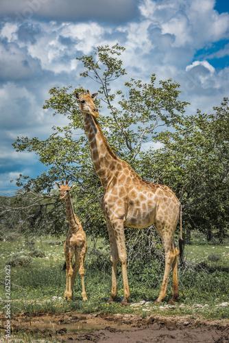 canvas print picture Giraffes in Etosha national park, Namibia