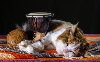 tricolor cat sleeping with Djembe drum and coconut