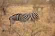 Zèbre Kruger National Park Afrique du Sud