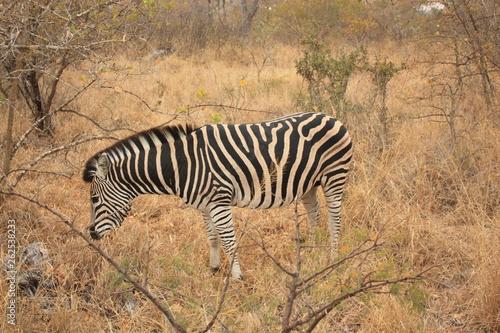 Zèbre Kruger National Park Afrique du Sud - 262538233