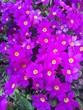 primule flower purple